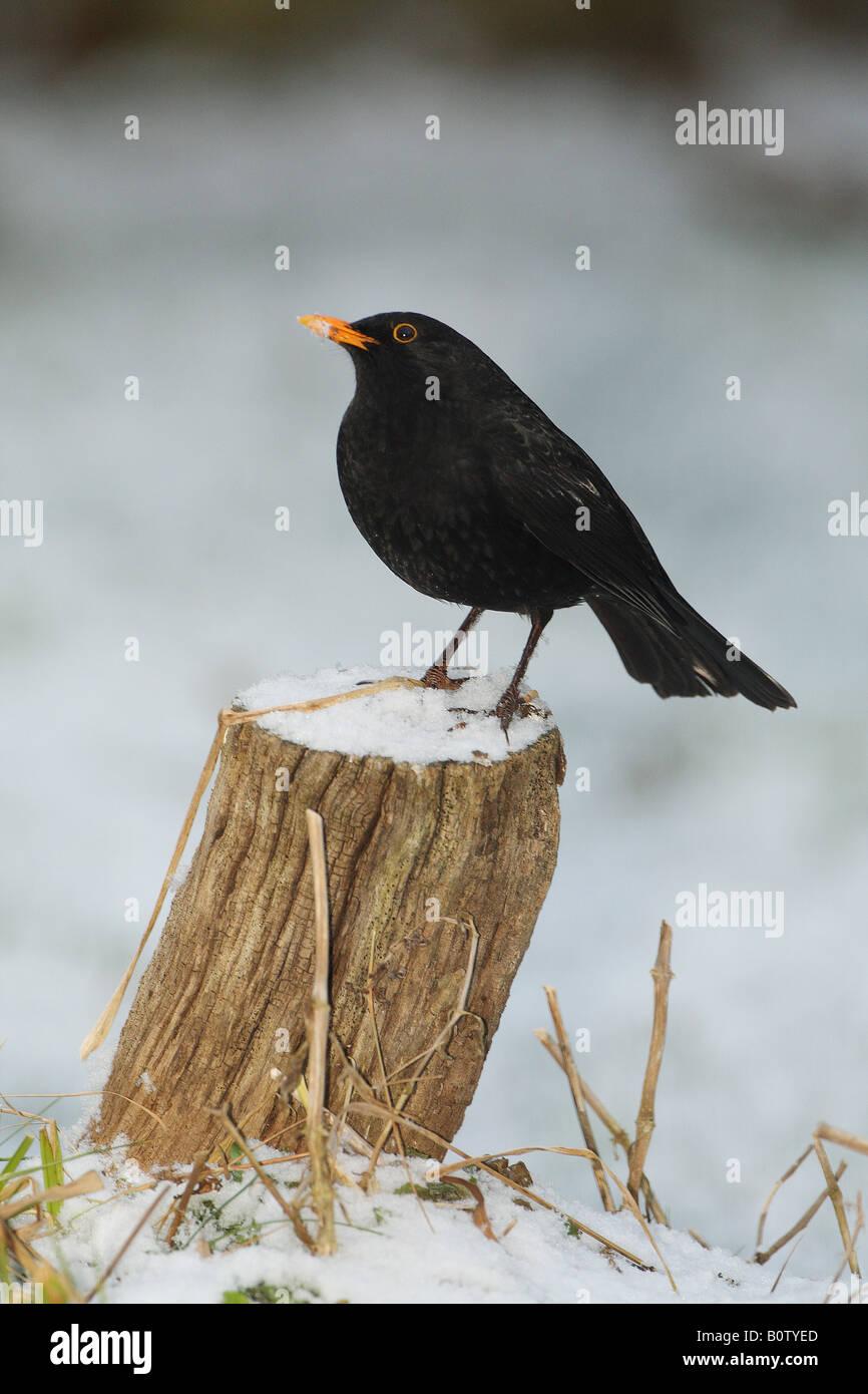 Blackbird (Turdus merula). Male standing on a tree stump in snow - Stock Image
