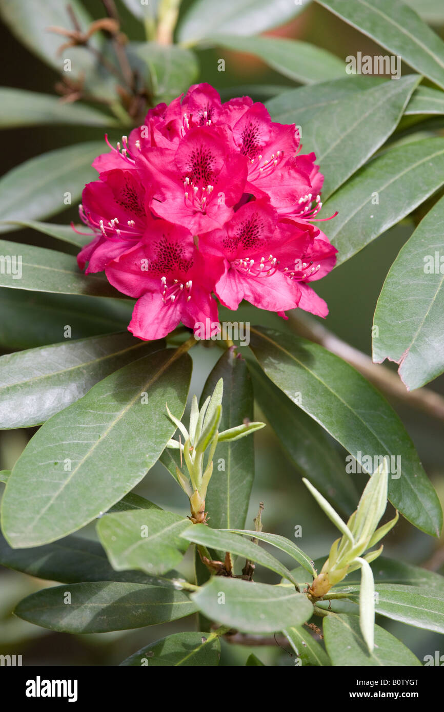 Rhododendron closeup - Stock Image