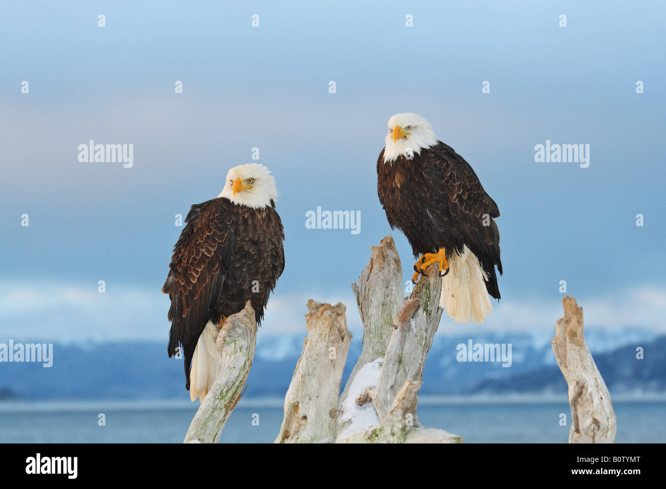 two Bald eagles - sitting on root - Stock Image