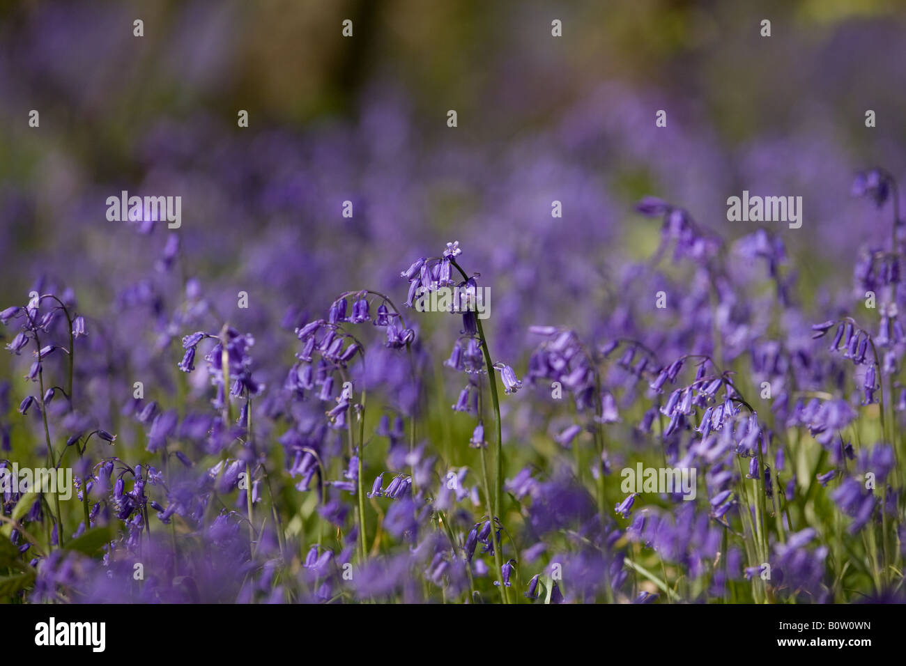 Bluebells in East Sussex, England Stock Photo