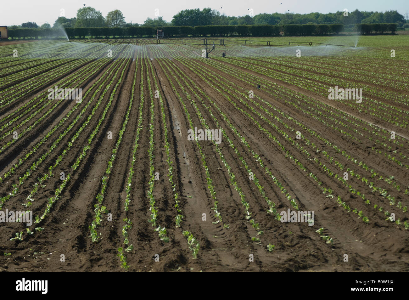 Irrigating lettuce plants Pocklington Yorkshire Stock Photo