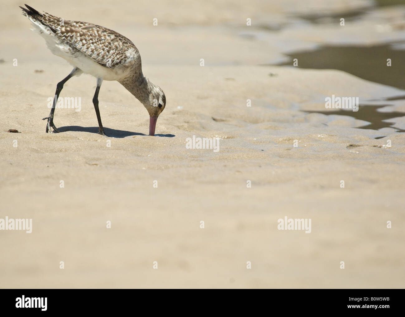sand piper looks for food at the beach - Stock Image