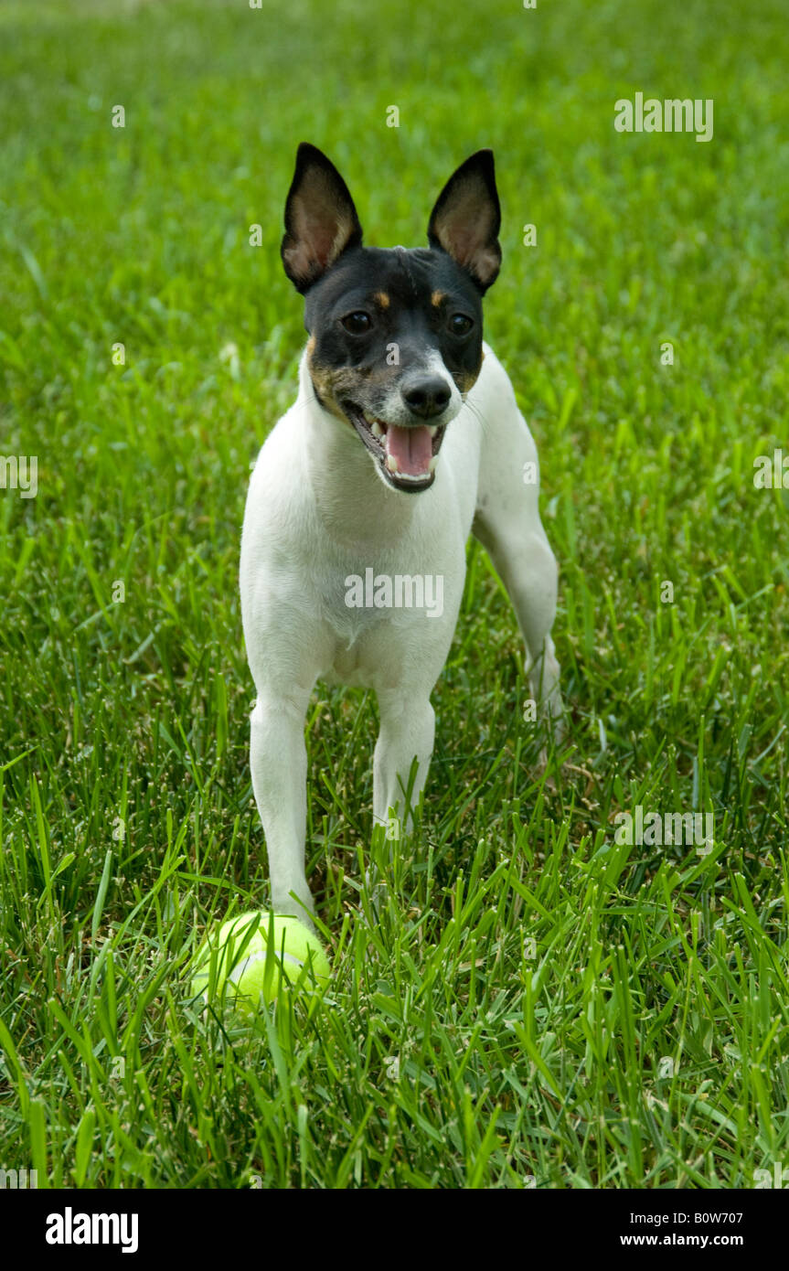 Small black and white dog toy fox terrier posing in grass panting slightly tennis ball at its feet