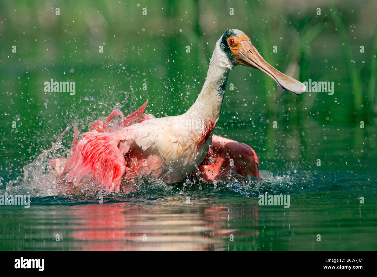 Roseate Spoonbill (Ajaja ajaja) bathing, Florida, USA Stock Photo