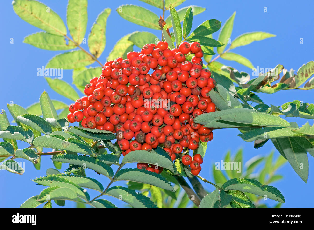 Rowan Ash or Mountain Ash (Sorbus aucuparia), berries Stock Photo