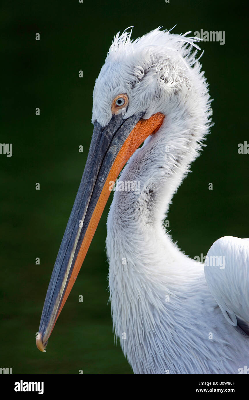 Dalmatian Pelican (Pelecanus crispus) - Stock Image