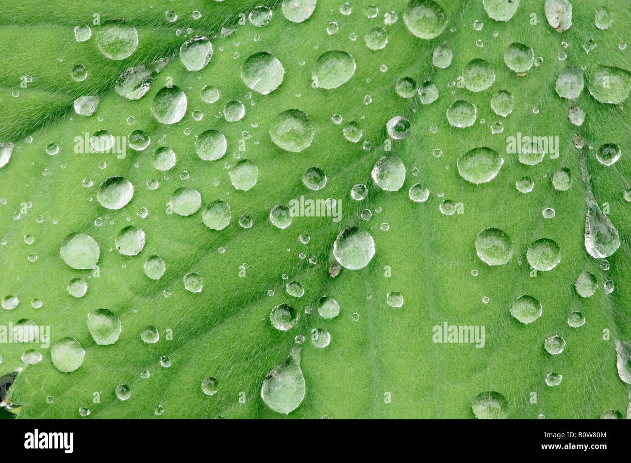 Lady's Mantle (Alchemilla mollis), water drops on leaf - Stock Image