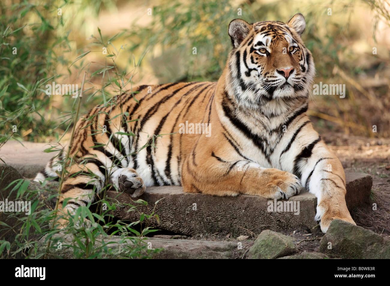 Siberian Tiger (Panthera tigris altaica) - Stock Image