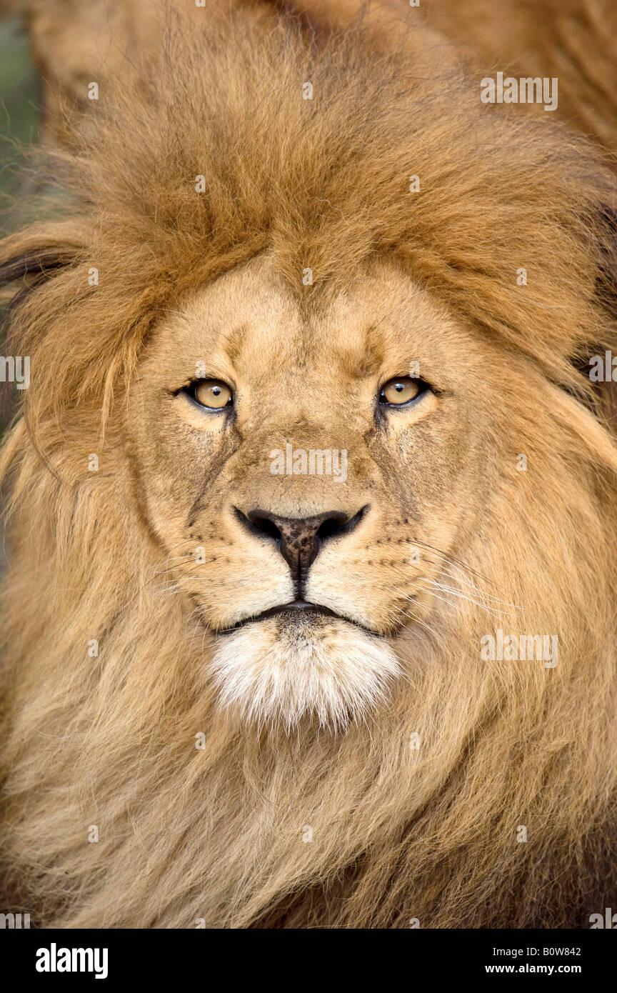Lion (Panthera leo), male Stock Photo