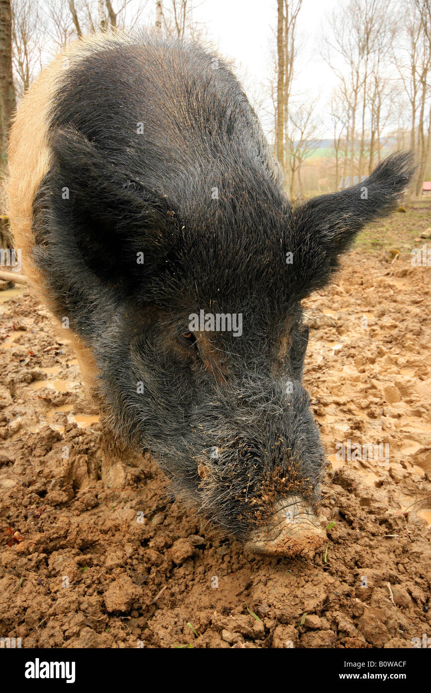 Pig, German pasture pig scavenging in the mud - Stock Image