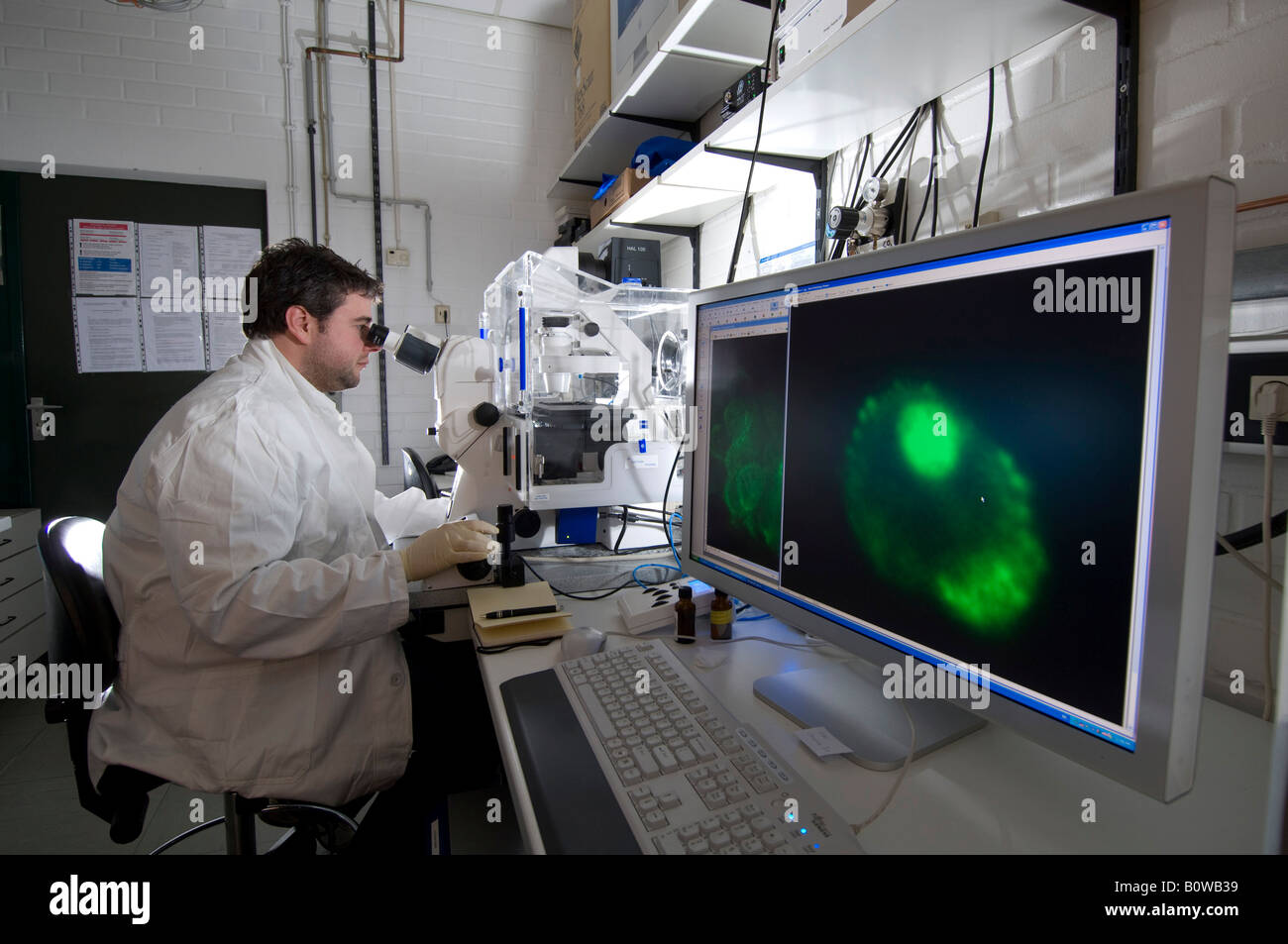 Stem cell research, Max Planck Institute for Molecular Genetics, laboratory technician observing nerve cells through - Stock Image