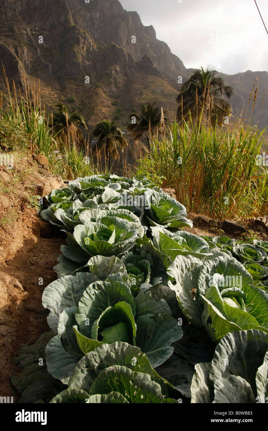 Vegetable crops growing in the fertile Paul Valley on Santo Antao Island, Cape Verde, Africa - Stock Image
