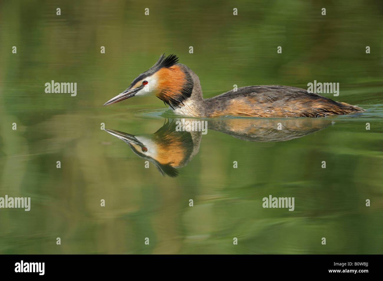 Great Crested Grebe (Podiceps cristatus) swimming, reflected on the water's surface - Stock Image