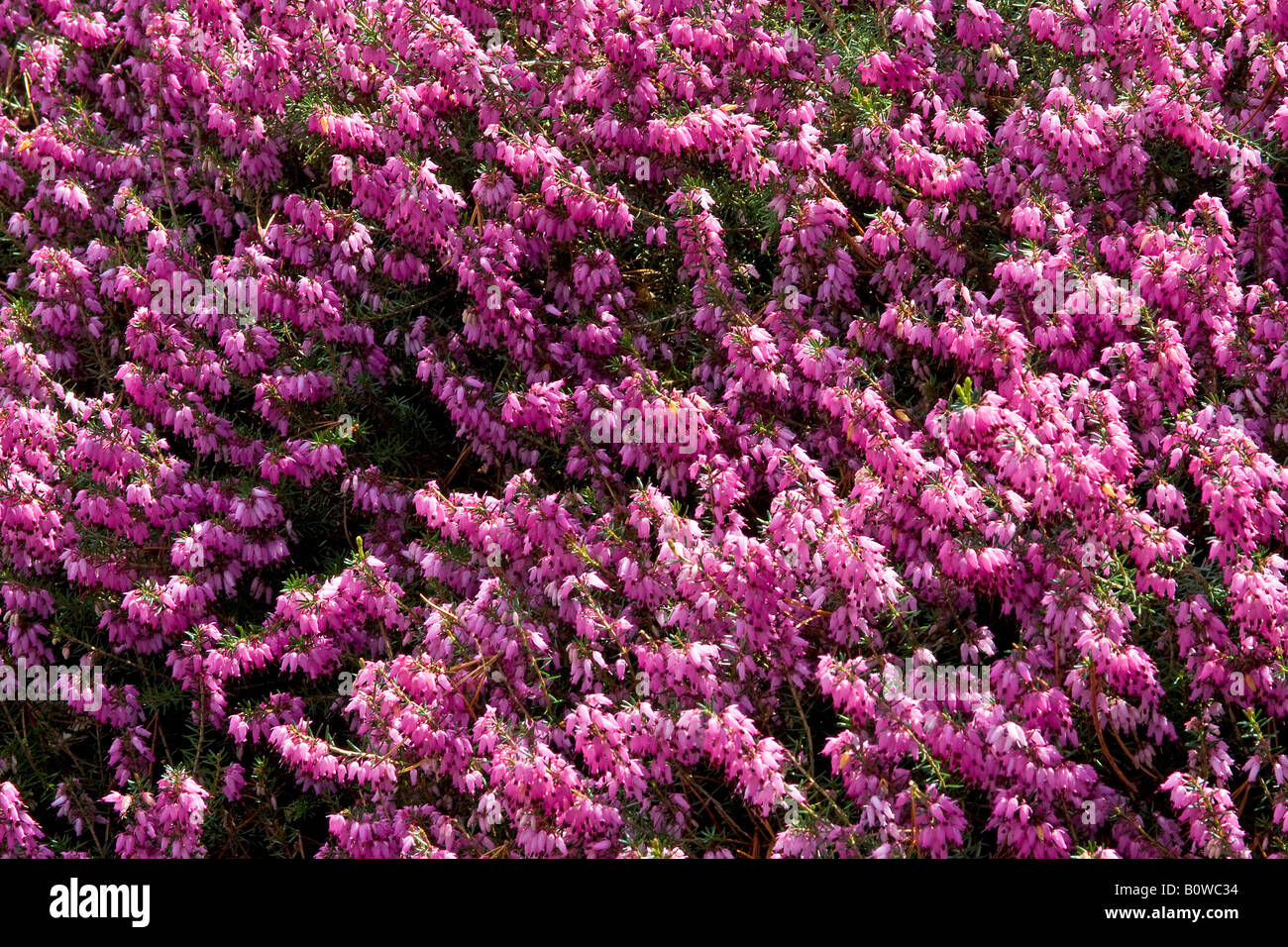 Flowering Winter Heath (Erica carnea), March Seedling cultivar - Stock Image
