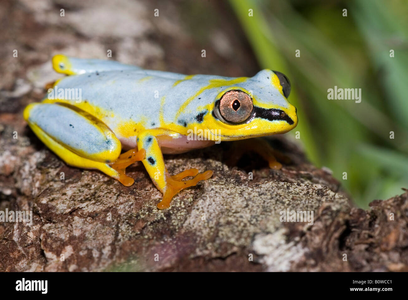 Madagascan Lined, White-Lined or Spotted Reed Frog (Heterixalus punctatus), Madagascar, Africa Stock Photo