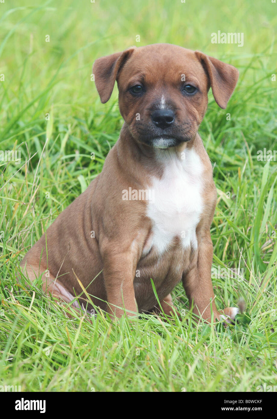 staffordshire bullterrier puppy - sitting on meadow - Stock Image