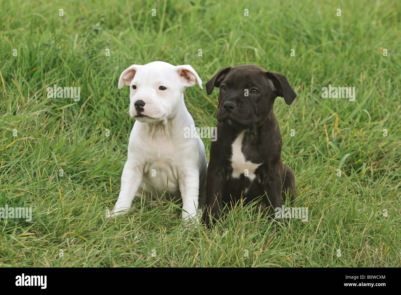 two staffordshire bullterrier puppies  - sitting on meadow - Stock Image