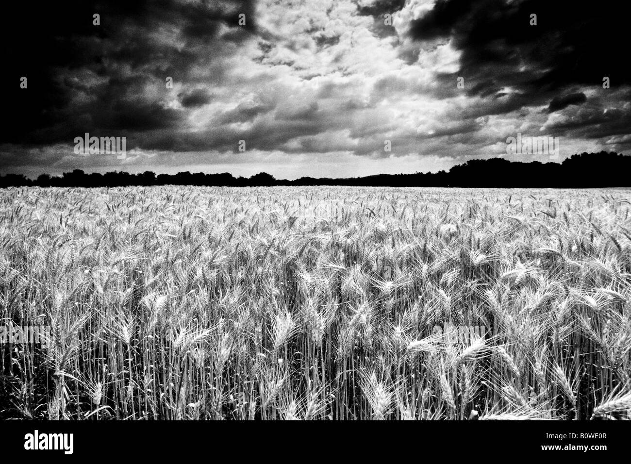 Wheat field ripe for harvest, grain field, dramatic clouds, thunderclouds, manipulated shot, black and white - Stock Image