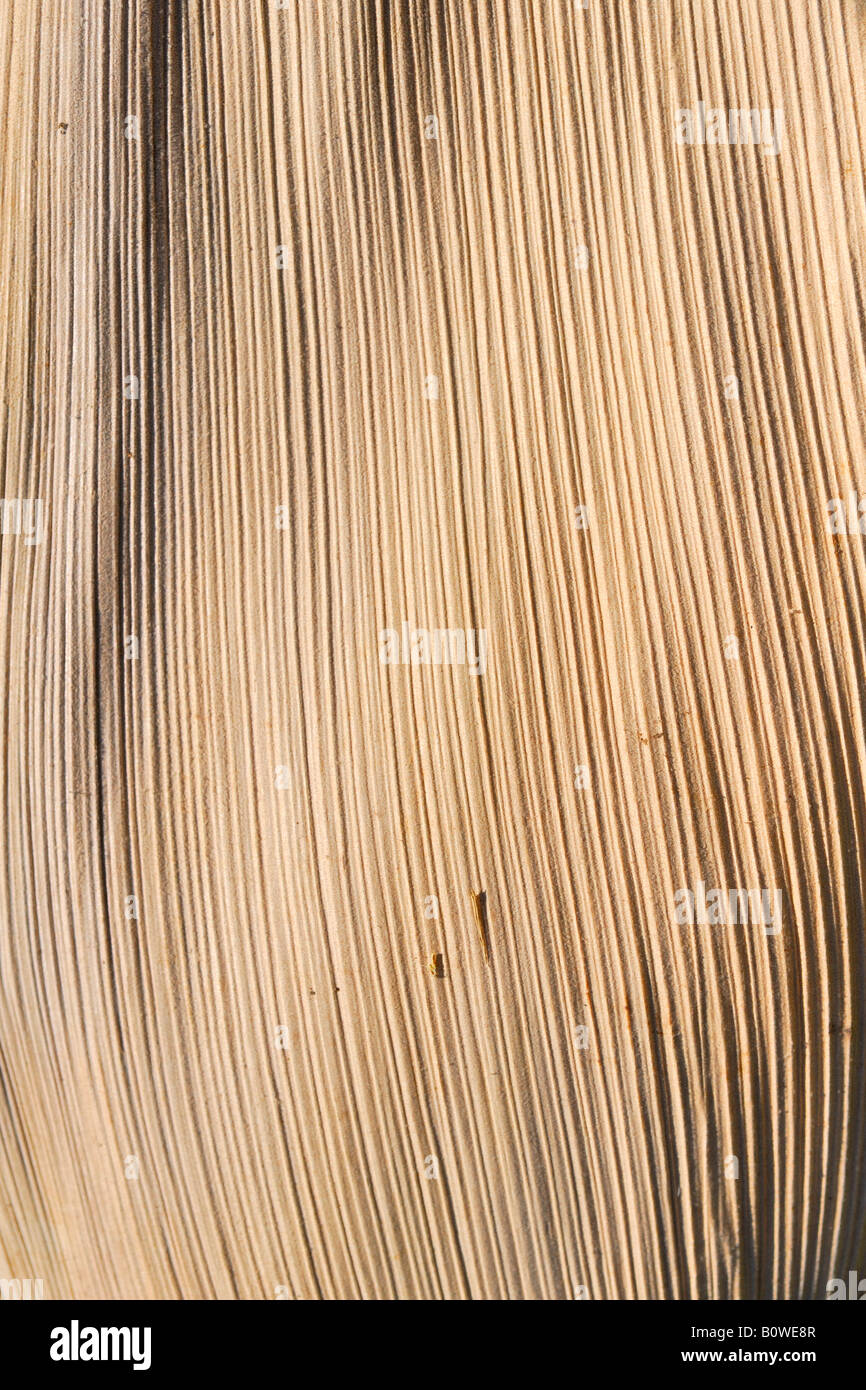 Surface texture of a dried palm frond, leaf - Stock Image