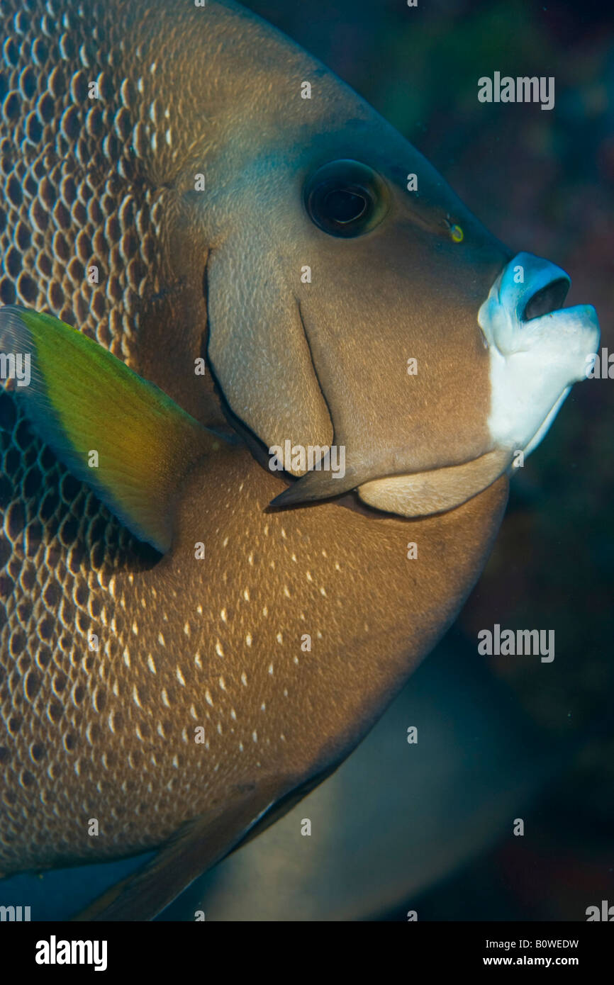 Gray Angelfish (Pomacanthus arcuatus), Honduras, Caribbean Stock Photo