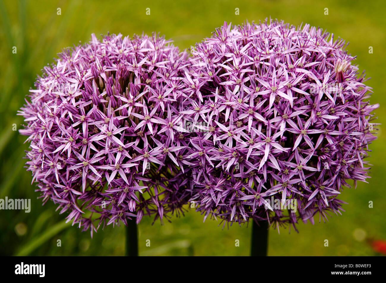 Onion, Garden Onion or Shallot (Allium cepa), two blossoms Stock Photo