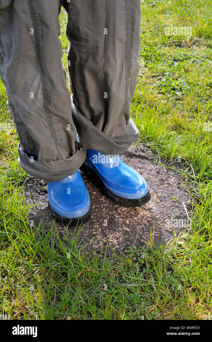 Grass seed being sown on bald patches in the lawn, then tramped down - Stock Image