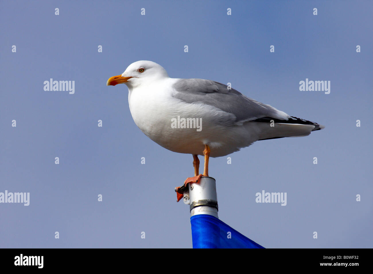 Herring Gull (Larus argentatus) perched on a flagpole - Stock Image