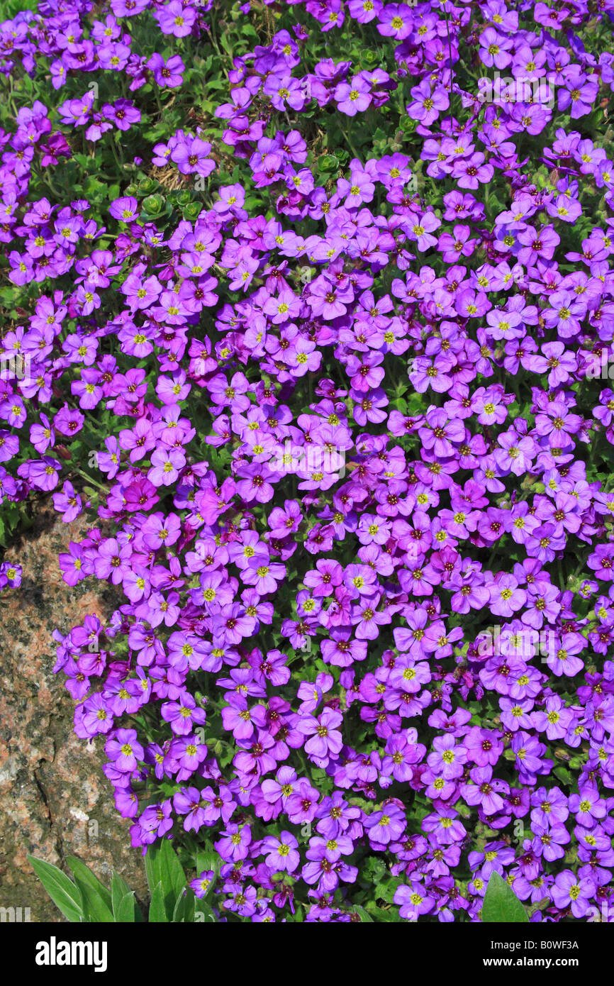 Large-flowered Aubrieta, Rock Cress or Rockcress (Aubrieta x cultorum), flowering, in bloom Stock Photo