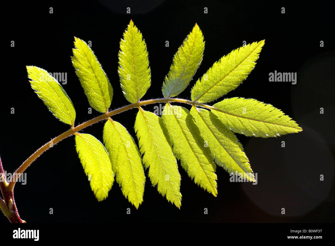 European Rowan leaves, Mountain Ash, (Sorbus aucuparia), spring foliage, shoots, backlight, photosynthesis Stock Photo
