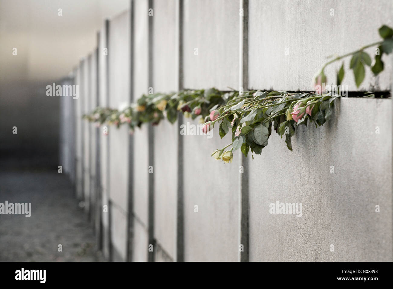 Roses protruding from the Berlin Wall - Stock Image
