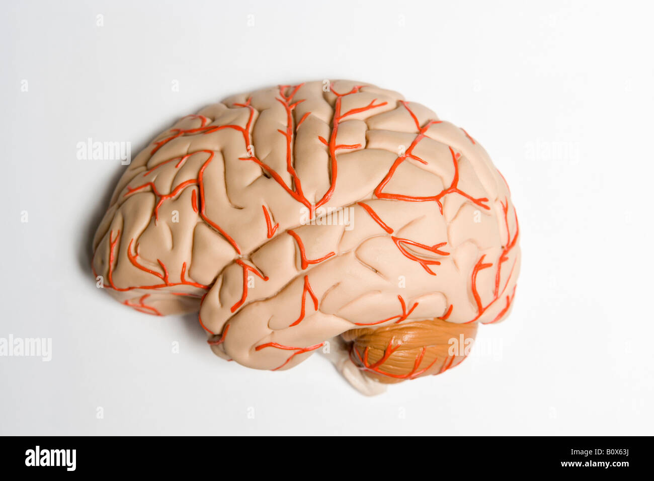 Human Brain Model Side View Stock Photos & Human Brain Model Side ...