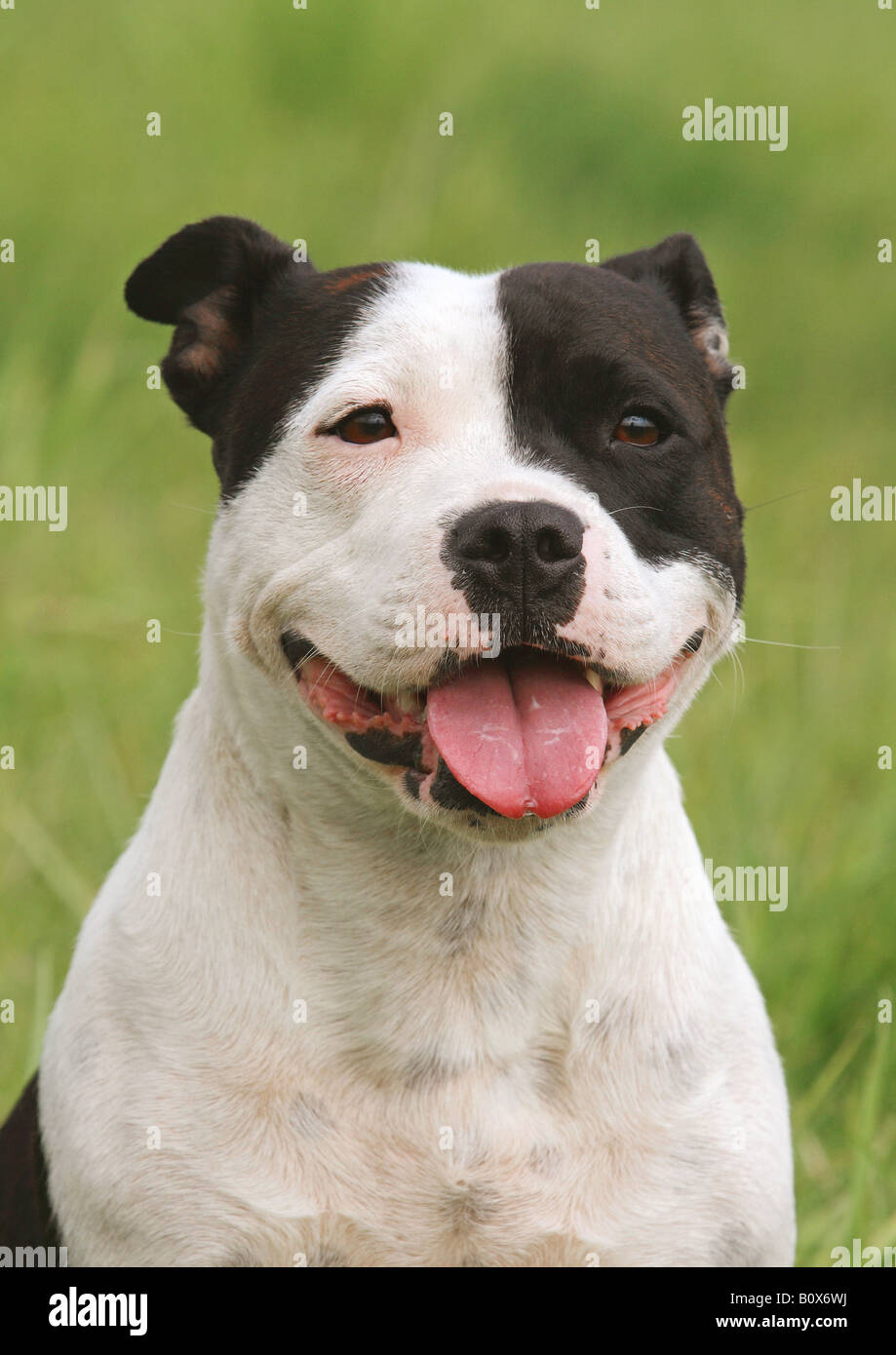 staffordshire bullterrier - portrait - Stock Image