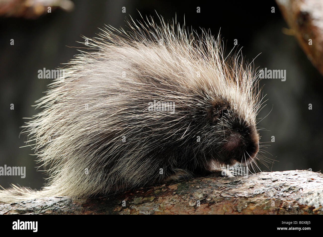 North American porcupine (Erethizon dorsatum), on branch Stock Photo
