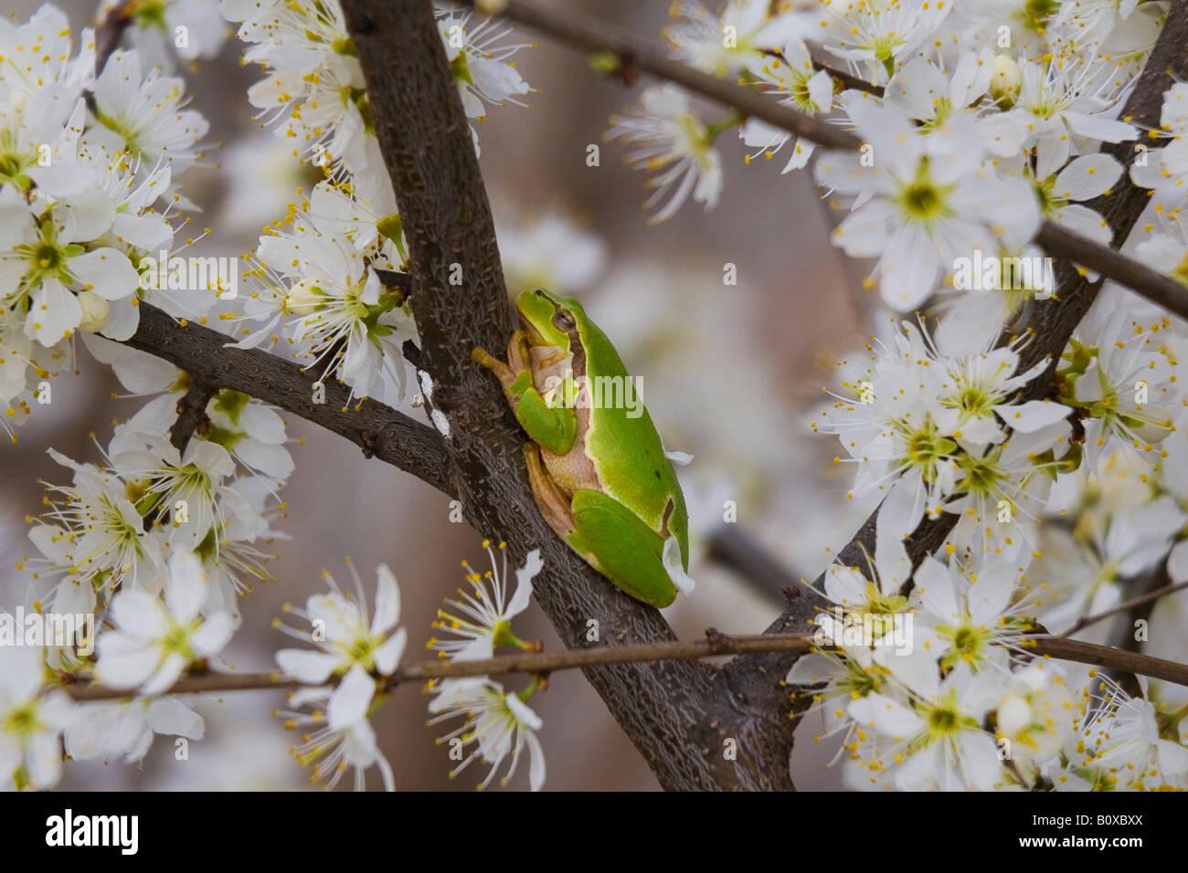 European treefrog, common treefrog, Central European treefrog (Hyla arborea), single animal on a blooming cherry Stock Photo