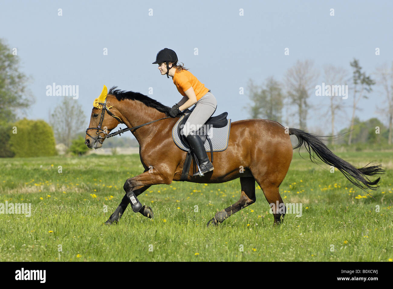 Young Lady Rider On American Standard Bred Horse