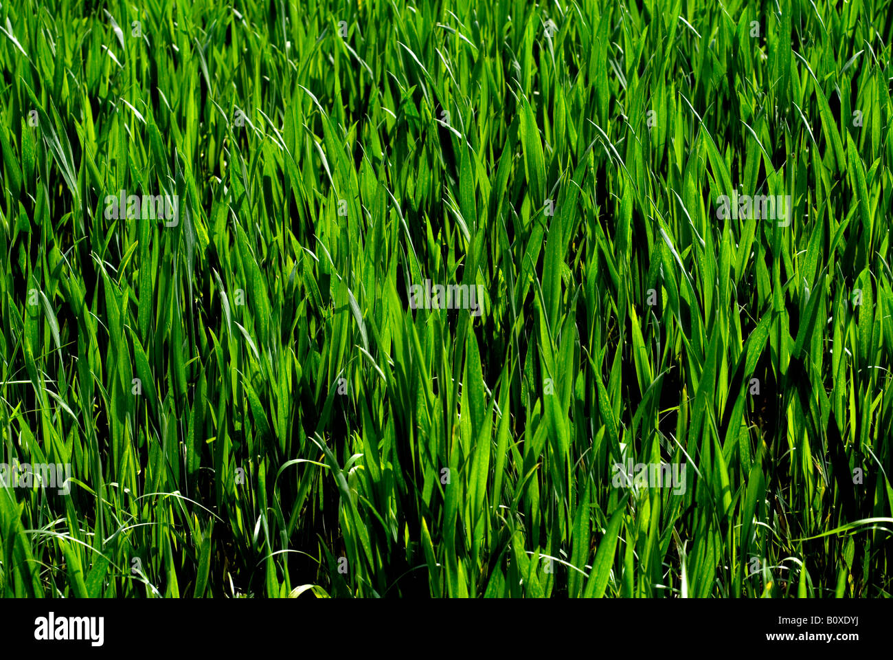 WHEATFIELD WHEAT FIELD YOUNG GREEN PLANTS - Stock Image