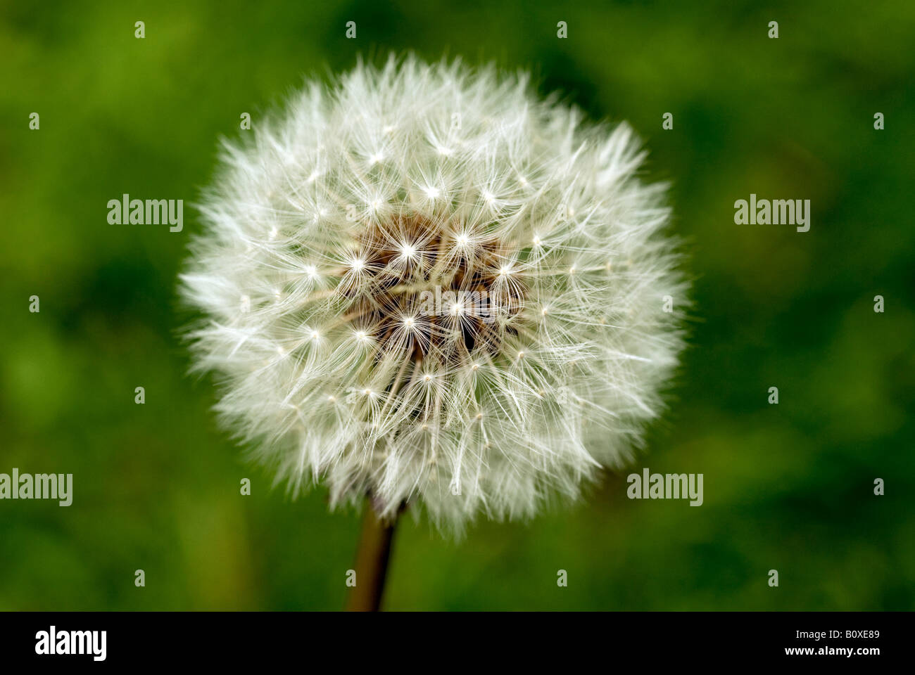 DANDELION SEED HEAD CLOSE UP Stock Photo