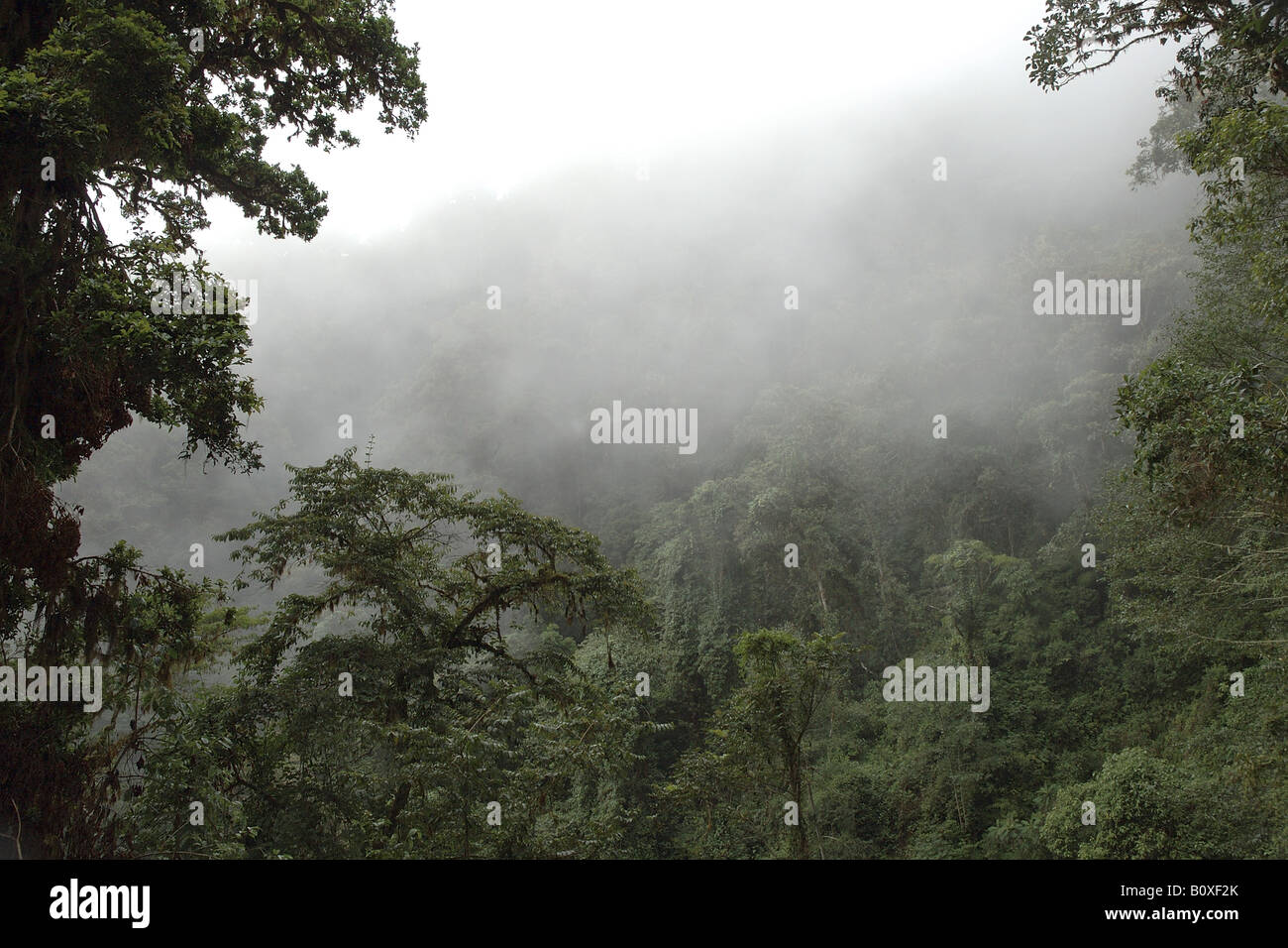 clouded forest bromeliacee epiphitic plants Cerro de la Muerte Costarica rain forest foresta pluviale tropicale foresta montana Stock Photo