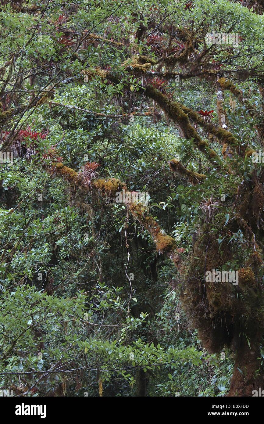 bromeliacee epifite Costarica rain forest foresta pluviale foresta tropicale foresta tropicale montana foresta nebulare Stock Photo