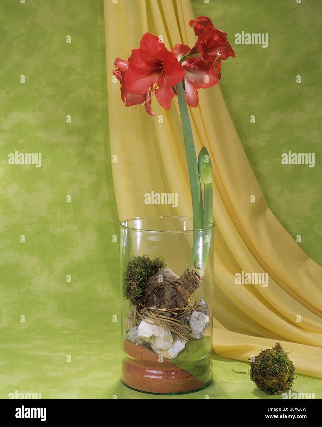 Amaryllis in glass Stock Photo
