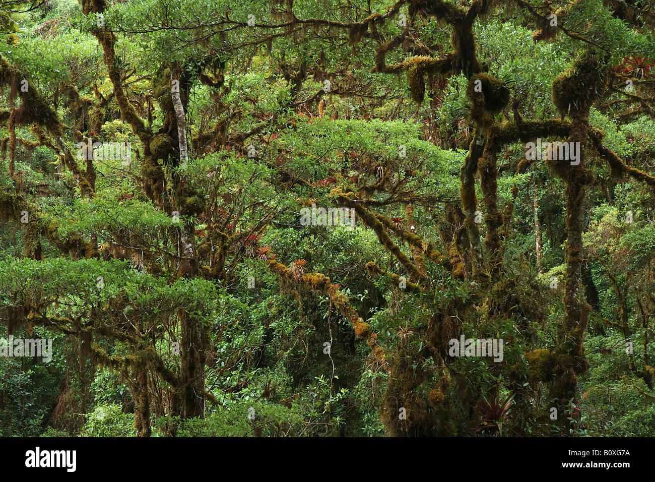 bromeliacee epiphitic plants Cerro de la Muerte Costarica rain forest foresta pluviale foresta tropicale foresta tropicale monta Stock Photo