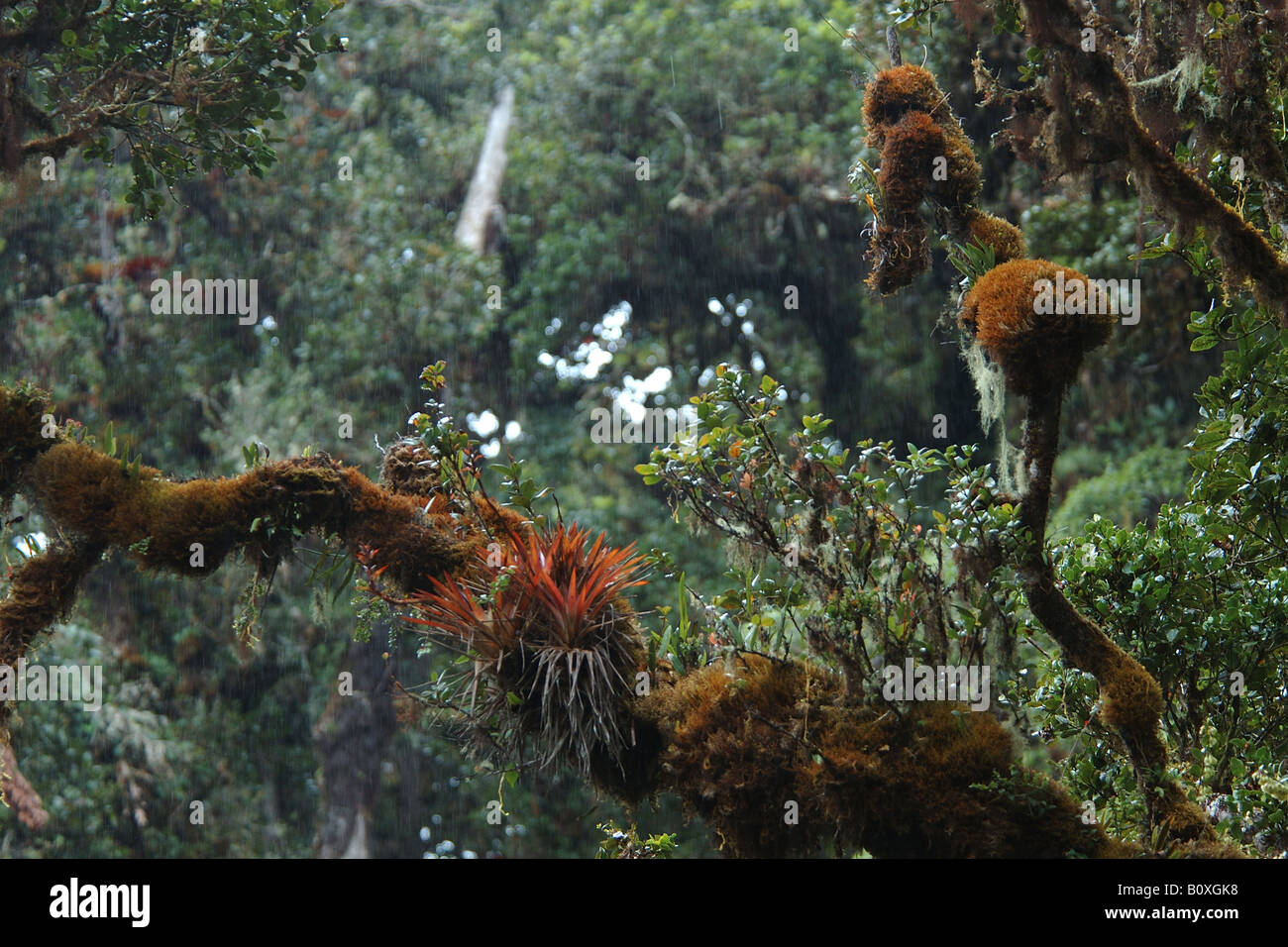 clouded forest bromeliacee epiphitic plants Cerro de la Muerte Costarica rain forest foresta pluviale tropicale foresta montana Stock Photo