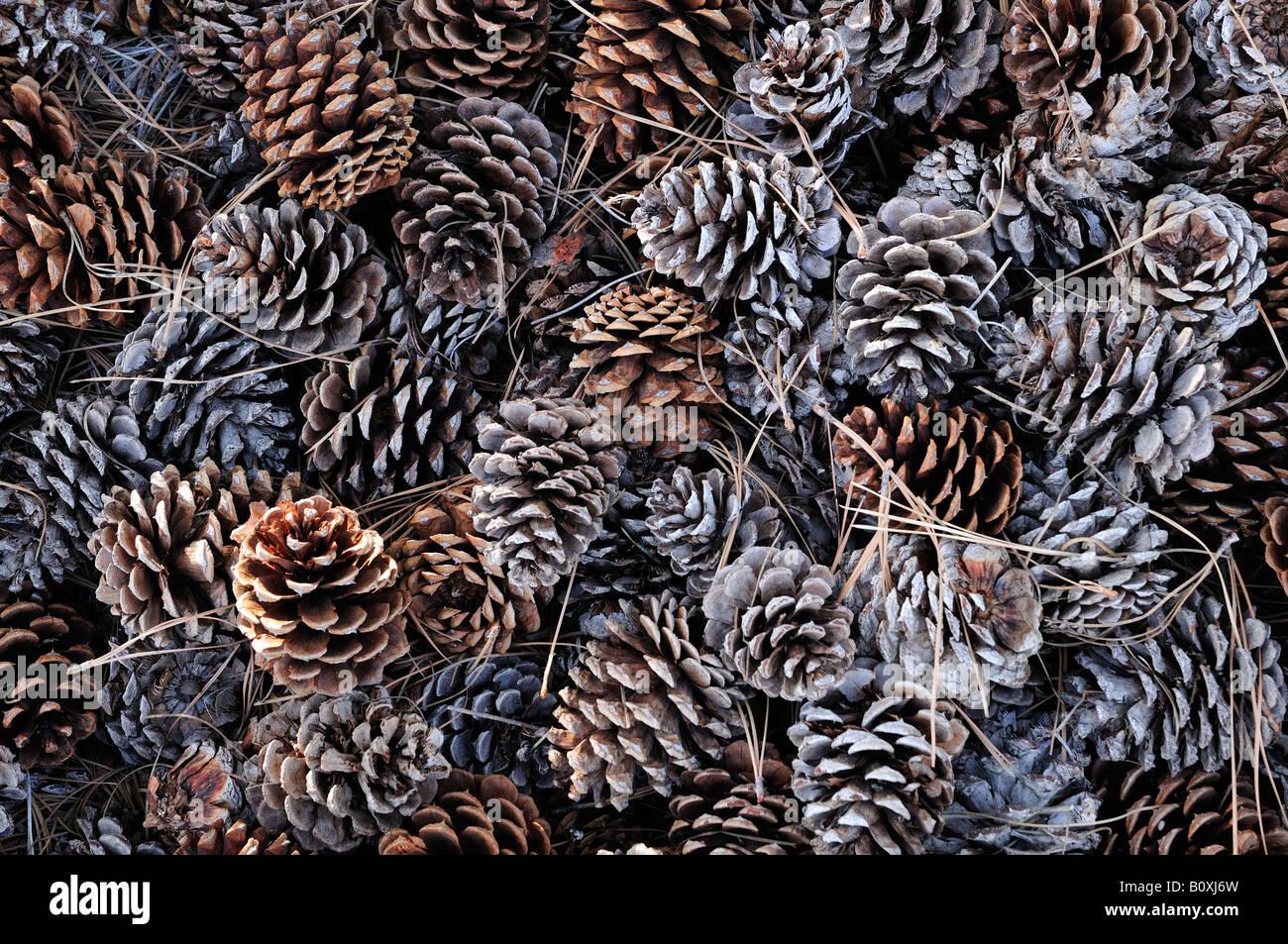 Ponderosa pine cones Kalamalka Lake Provincial Park near Vernon British Columbia - Stock Image
