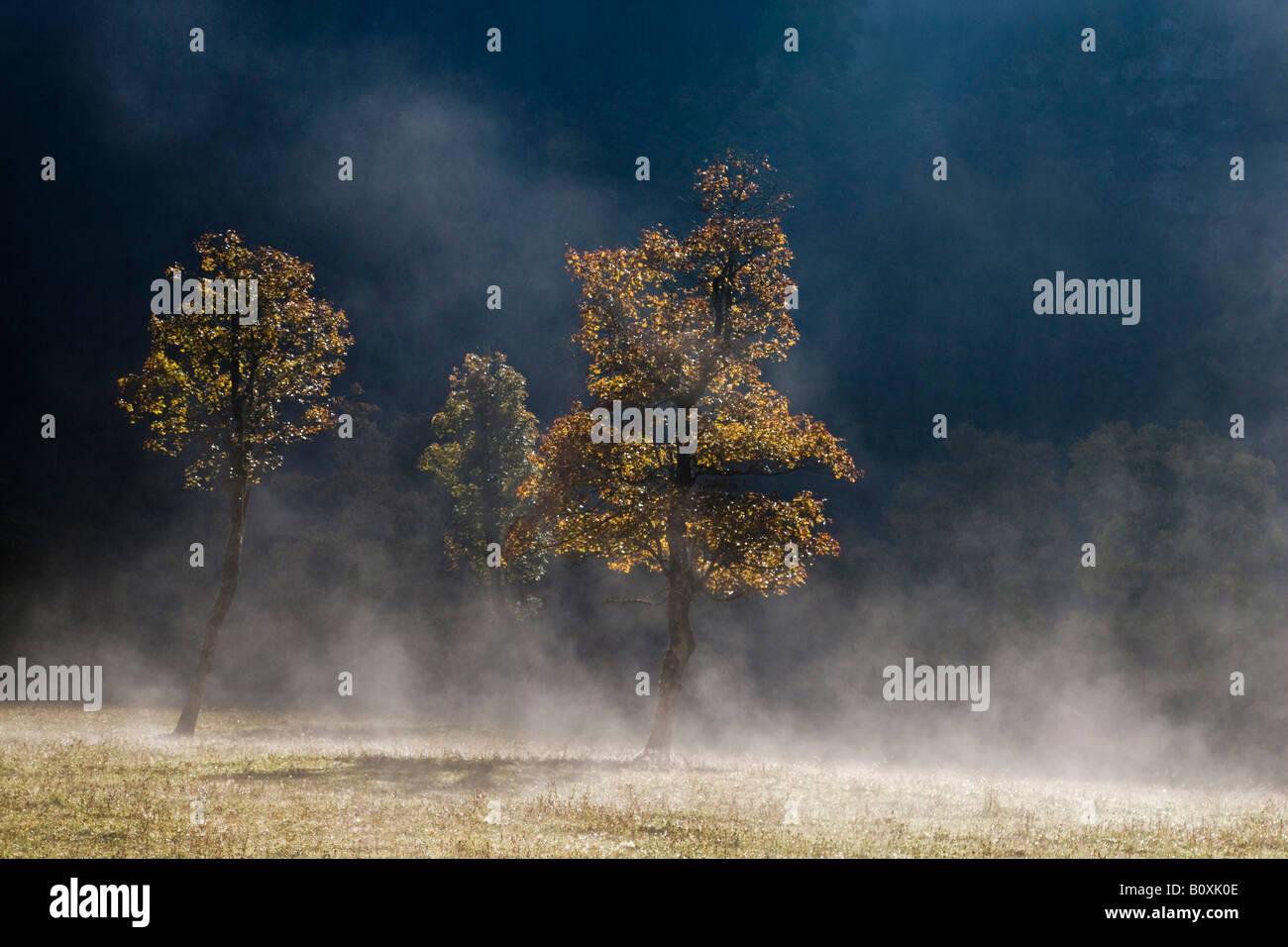 Austria, Tirol, Karwendel, Field maple tree in early morning mist - Stock Image