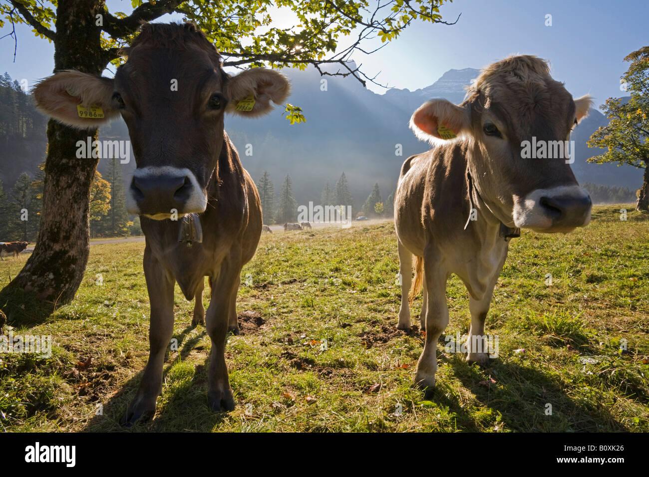 Austria, Tirol, Karwendel, Calfs on pasture - Stock Image