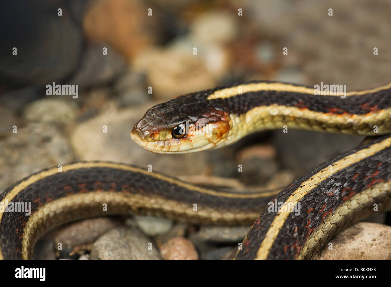 Valley Garter Snake Thamnophis sirtalis fitchi Cascade Mountains Oregon United States - Stock Image