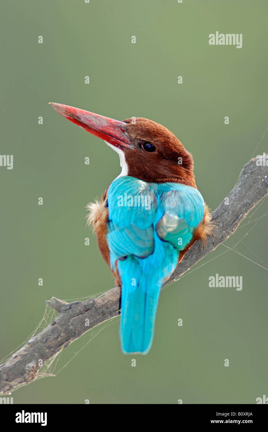 white-throated kingfisher, White-breasted Kingfisher, River Kingfisher (Halcyon smyrnensis), sitting on a twig, - Stock Image