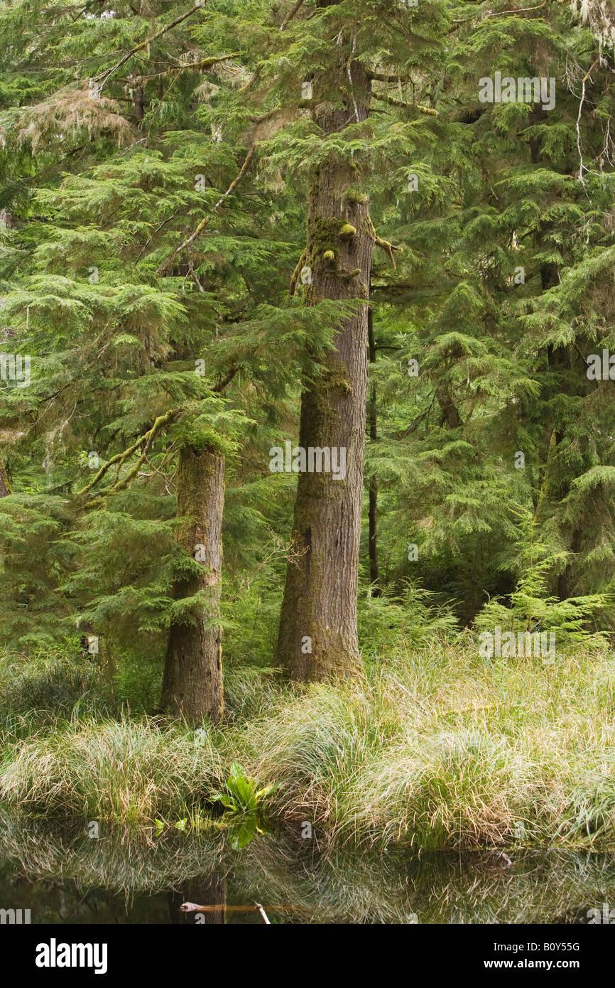Conifer forest Olympic National Park Washington United States - Stock Image