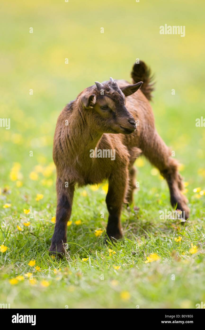 domestic Pygmy Goat - Stock Image