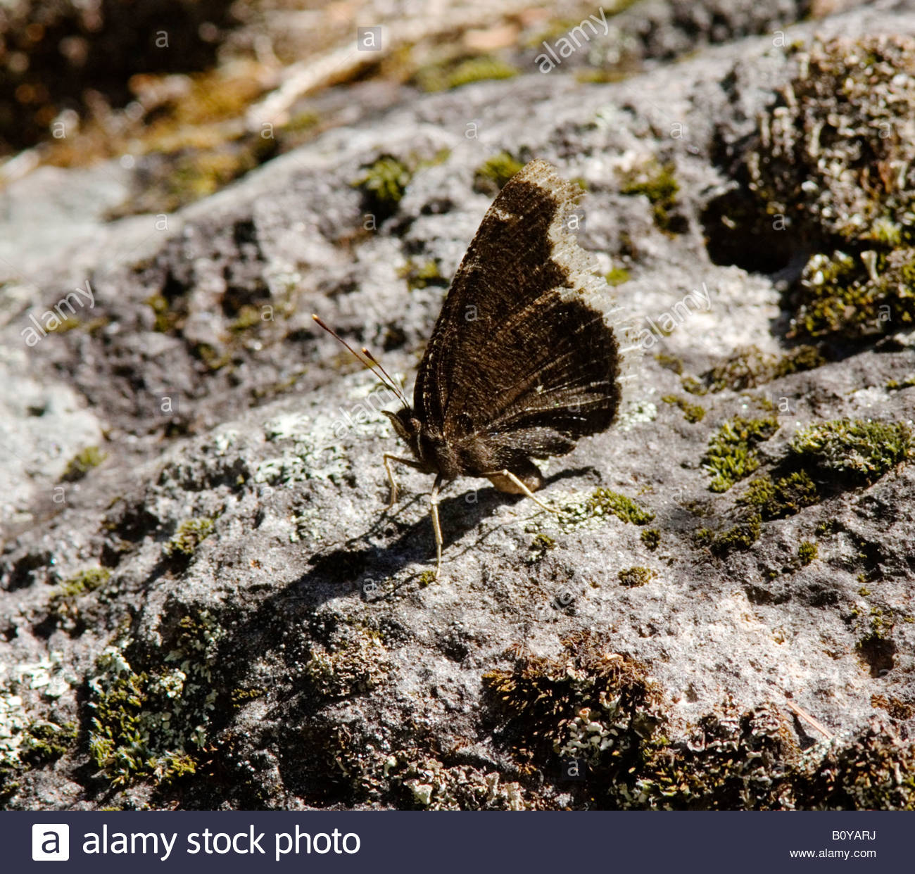 Mourning Cloak Nymphalis antiopa Butterfly  Nymphalidae Subfamily Nymphalinae Stock Photo